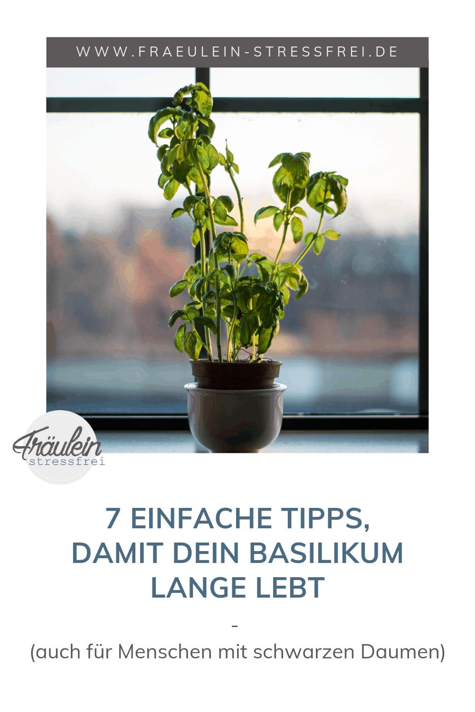 einfache Tipps, damit der Basilikum lange lebt - Basilikumpflege, einfache Tipps für einen Basilikum im Kräutertopf, der lange hält