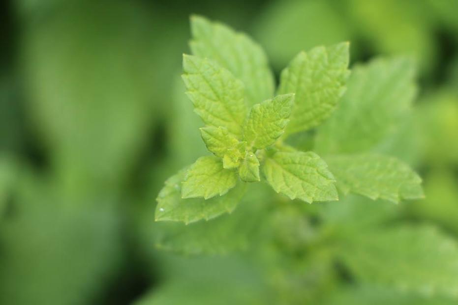 Zitronenmelisse - mit einem Tee aus diesen Kräutern den Stress besiegen